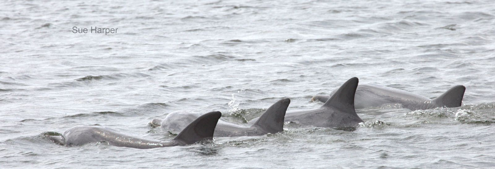 Cetacean disease kills five dolphins